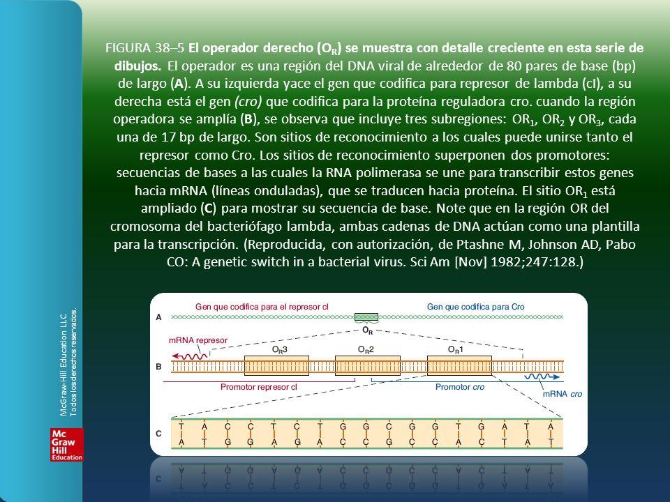 FIGURA 38–5 El operador derecho (OR) se muestra con detalle creciente en esta serie de dibujos. El operador es una región del DNA viral de alrededor de 80 pares de base (bp) de largo (A). A su izquierda yace el gen que codifica para represor de lambda (cI), a su derecha está el gen (cro) que codifica para la proteína reguladora cro. cuando la región operadora se amplía (B), se observa que incluye tres subregiones: OR1, OR2 y OR3, cada una de 17 bp de largo. Son sitios de reconocimiento a los cuales puede unirse tanto el represor como Cro. Los sitios de reconocimiento superponen dos promotores: secuencias de bases a las cuales la RNA polimerasa se une para transcribir estos genes hacia mRNA (líneas onduladas), que se traducen hacia proteína. El sitio OR1 está ampliado (C) para mostrar su secuencia de base. Note que en la región OR del cromosoma del bacteriófago lambda, ambas cadenas de DNA actúan como una plantilla para la transcripción. (Reproducida, con autorización, de Ptashne M, Johnson AD, Pabo CO: A genetic switch in a bacterial virus. Sci Am [Nov] 1982;247:128.)